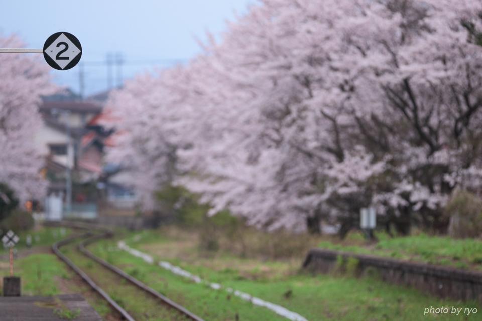 最後の桜と共に_20170408_1