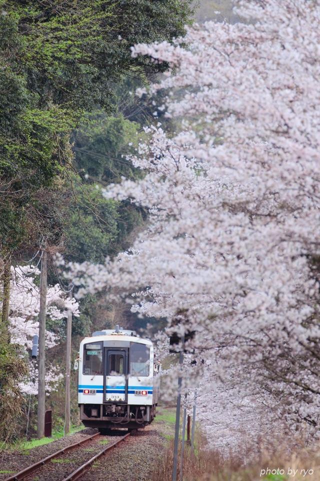 最後の桜と共に_20170408_2