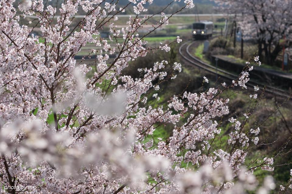 最後の桜と共に_20170408_3