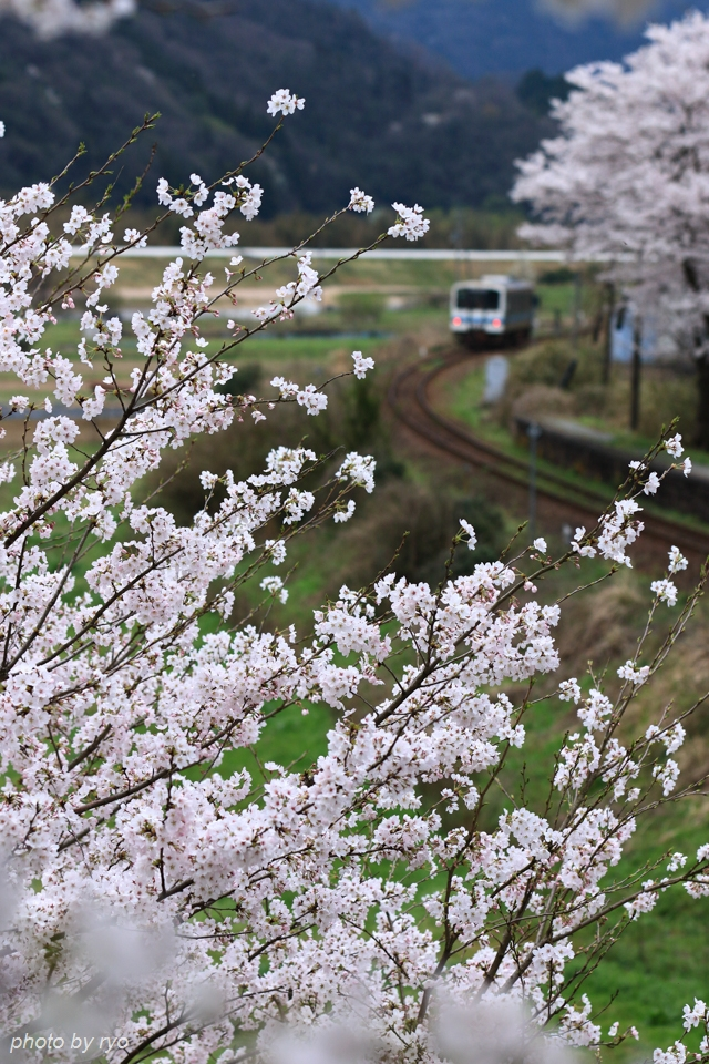 最後の桜と共に_20170408_5