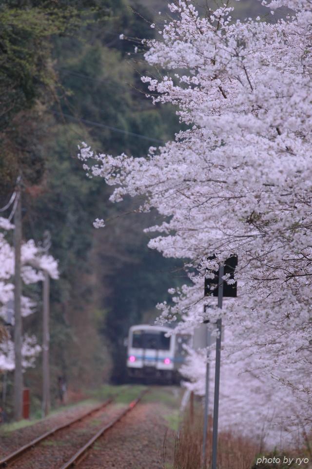 最後の桜と共に_20170408_6