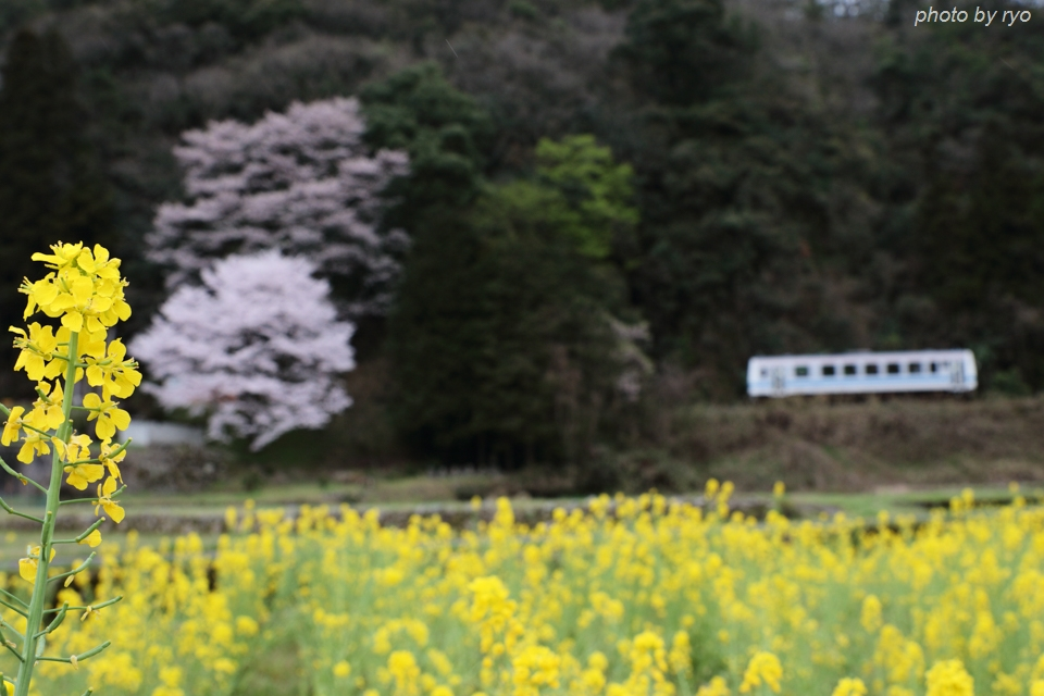最後の桜と共に_20170409_6