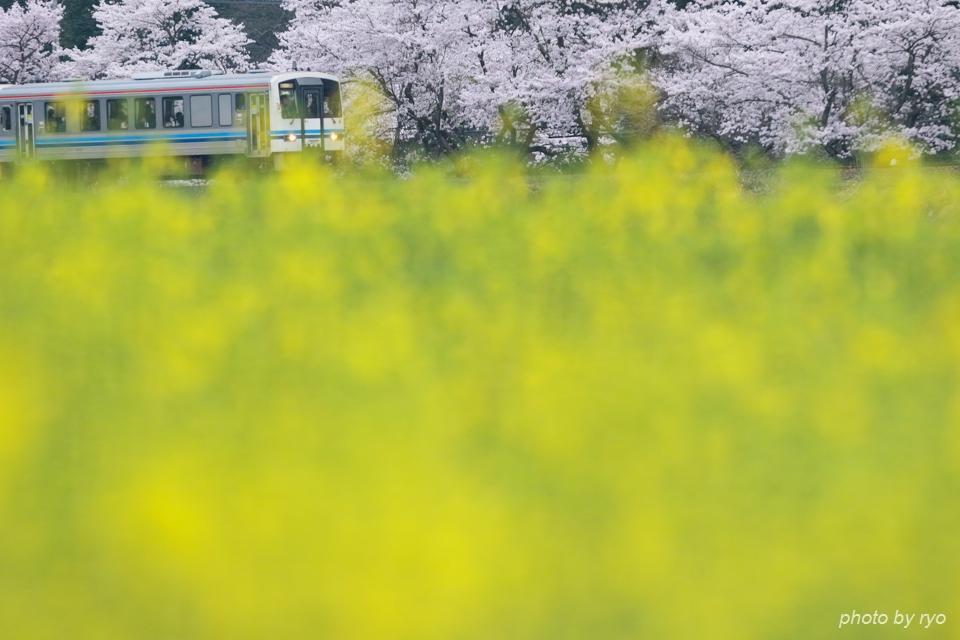 最後の桜と共に_20170409_7