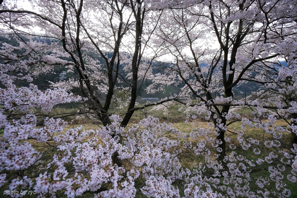 最後の桜と共に_20170410_2
