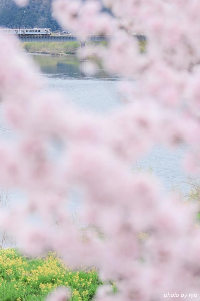 最後の桜と共に_20170410_4