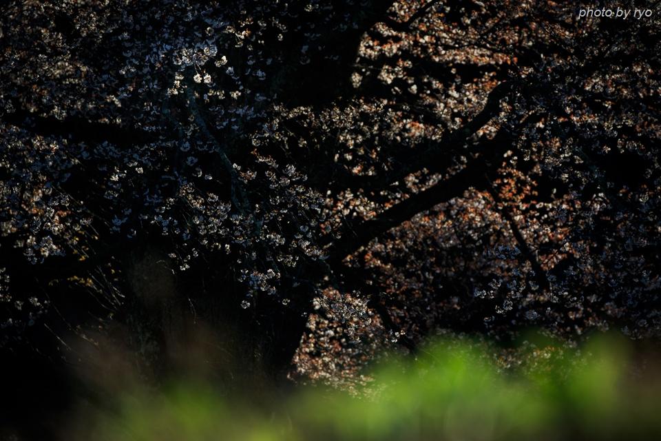 千鳥別尺のヤマザクラ 2017_2
