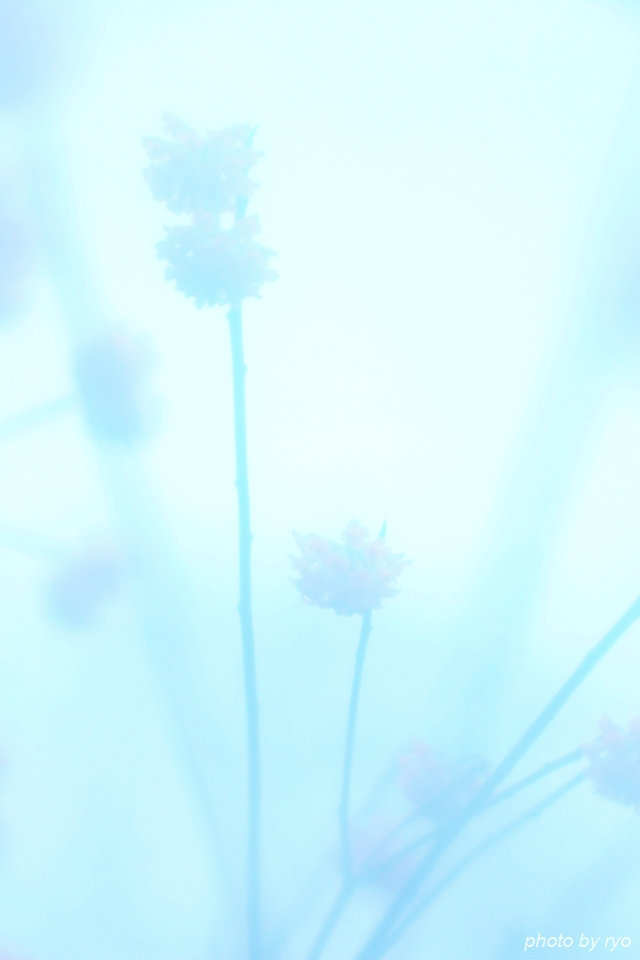 雨のミツマタ_4