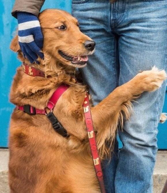 Картинки по запросу собака обнимака золотистый ретривер