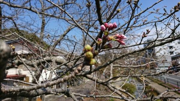 2017 4月1日 桜