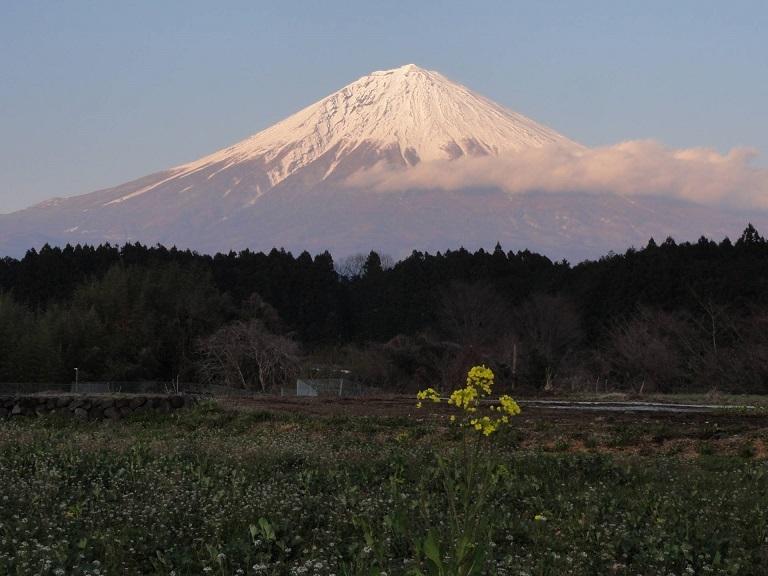 富士と菜の花、どちらが良いか