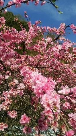 ピンク花桃