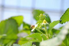 【写真】いちごの花の受粉作業をしているミツバチの様子
