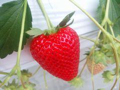 【写真】真っ赤に色付いた三番果の大粒おいCベリー