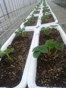 【写真】プランターに植えた来シーズンの親苗の様子