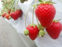 【写真】おいCベリーの赤い実が並んで実っている様子