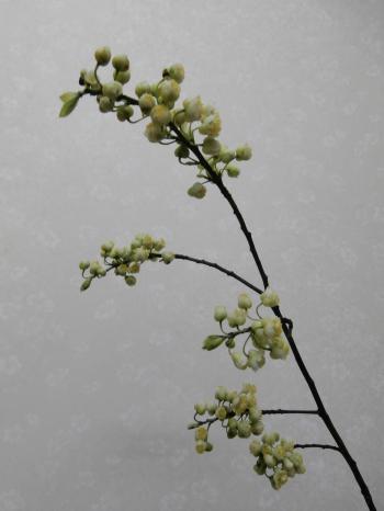 アオモジの花写真Ⅰ