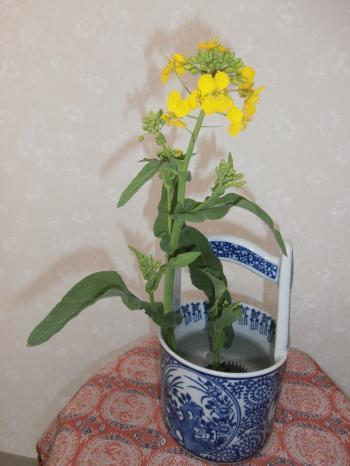 菜の花Ⅱ写真