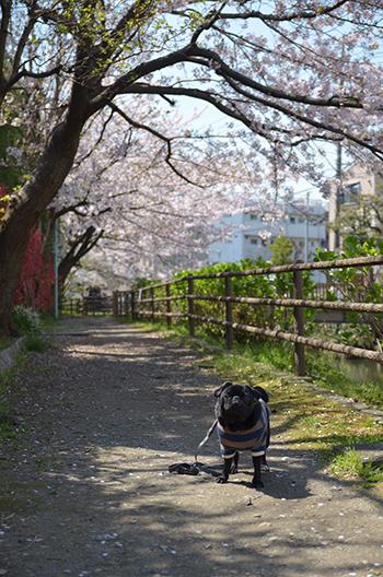桜綺麗だね