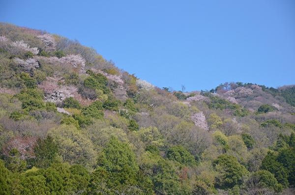 母撮影山桜