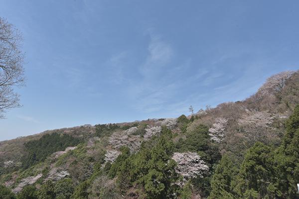 父撮影山桜