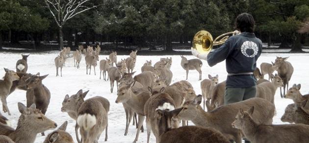奈良鹿4マッターホルンで奏でると、鹿がどんぐり欲しさに集まってくる