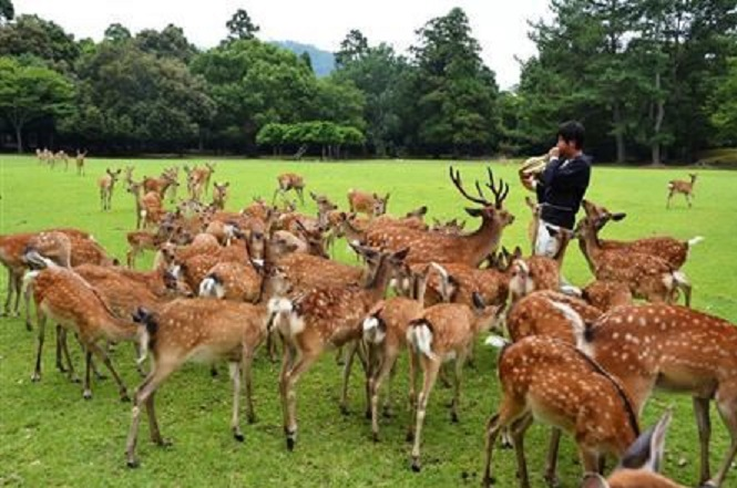 奈良鹿7マッターホルンで奏でると、鹿がどんぐり欲しさに集まってくる