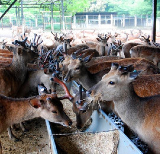 鹿苑(ろくえん)は、赤ちゃん鹿や妊娠した鹿、けがをした鹿などを保護する施設です