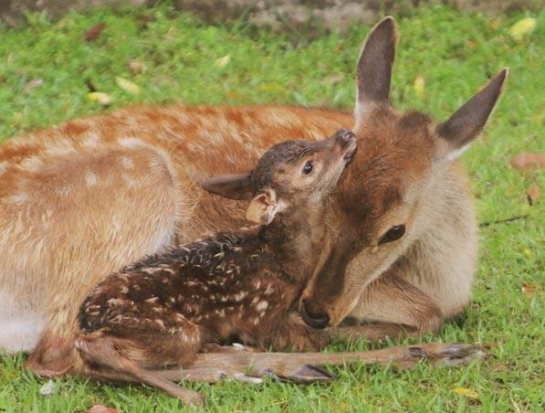 シカの保護施設「鹿苑(ろくえん)」で子鹿を公開するイベント中に産気づき、出産した母シカ