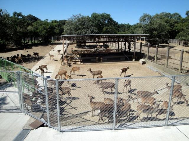 シカの保護施設「鹿苑(ろくえん)」で子鹿を公開するイベント中に産気づき、出産した母シカ1