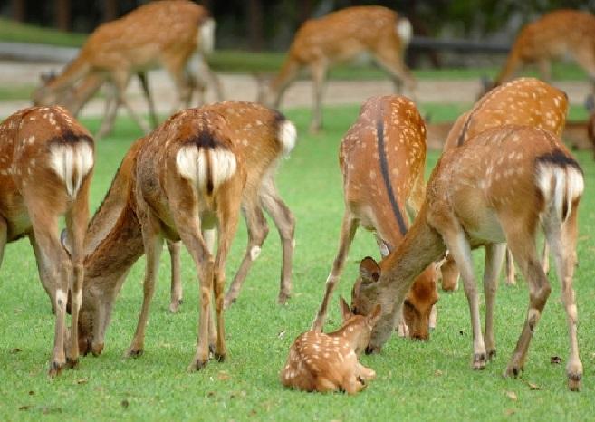 「鹿苑」は、病気になったりケガをした鹿を保護する施設で、毎年4月になると、人と鹿とのトラブルを避けるため、妊娠している母鹿もここで生活します