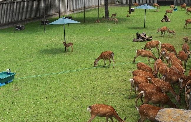 「鹿苑」は、病気になったりケガをした鹿を保護する施設で、毎年4月になると、人と鹿とのトラブルを避けるため、妊娠している母鹿もここで生活します1