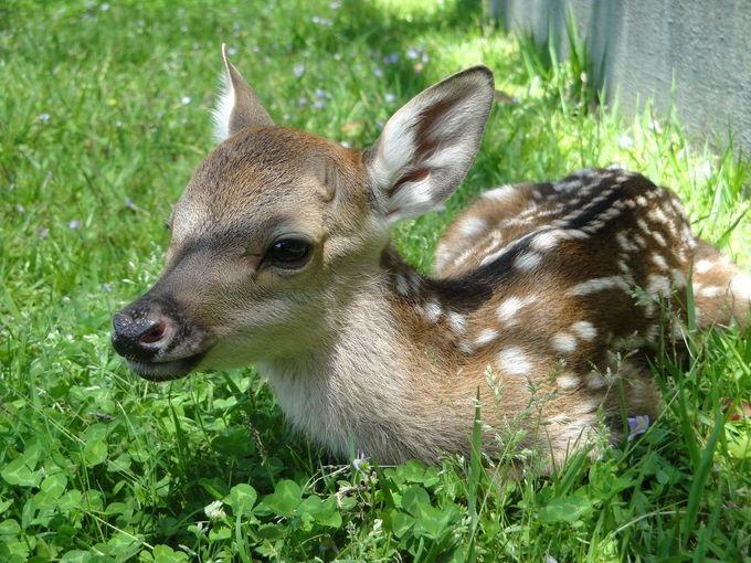 鹿苑(ろくえん)での「子鹿公開 赤ちゃん鹿大集合」開催は2016年で6回目。雌鹿186頭・子鹿65頭の計251頭が保護されています。(2015年6月1日データ)