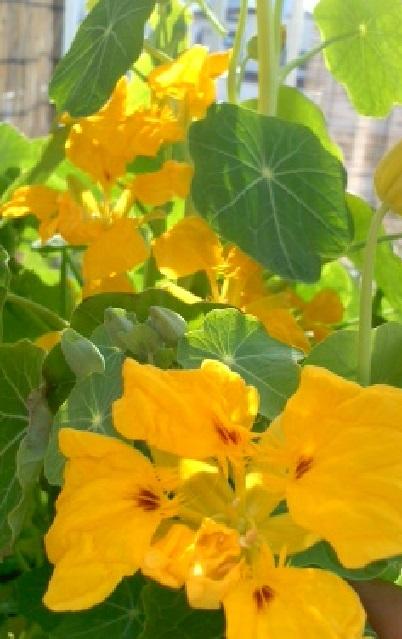 大きな黄色のお花の横でひっそり咲いていた菜の花1