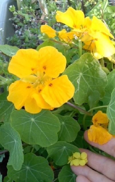 大きな黄色のお花の横でひっそり咲いていた菜の花。