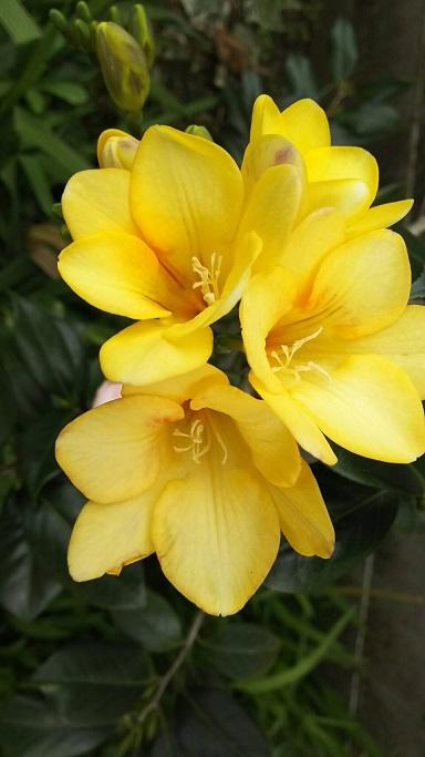 ミーママの実家のお花7
