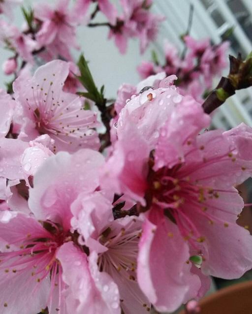 今年は少し、遅れてミーママ家の屋上のピンクの桃の花も咲きました。ミーママ家の桃の花は歌っているみたいに楽しそうです