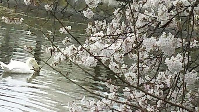 お堀の桜。美しいてますが、人に知られていない歌うような楽園の桜と比べると歌ってなく寂しそうに感じます1