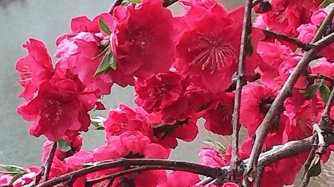 お堀の水の上で咲く桃の花