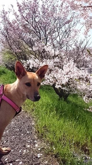 桜並木をお散歩