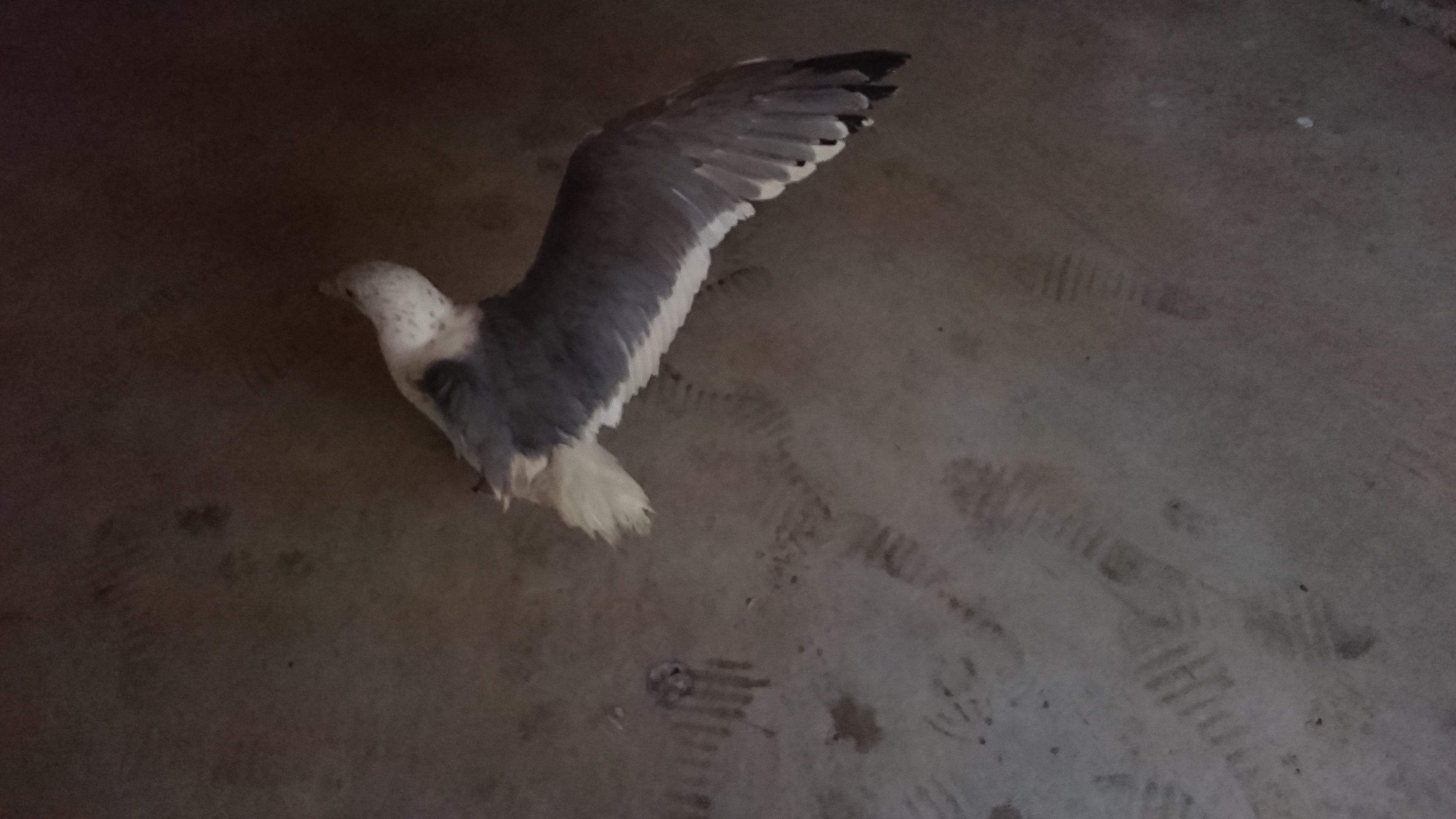 走りながら翼を広げるジョナサン⌒(ё)⌒