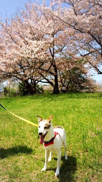 桜の下で気持ちいい🌸