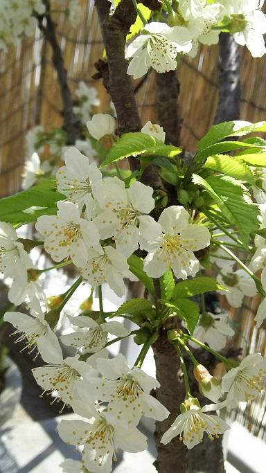 屋上のサクランボの花がソメイヨシノの後に咲きました1