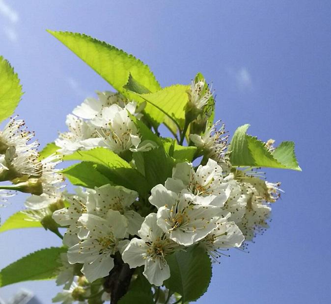 屋上のサクランボの花がソメイヨシノの後に咲きました2