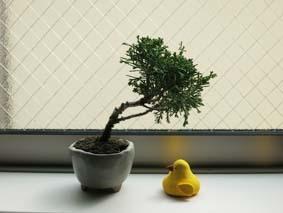 ひよこと盆栽