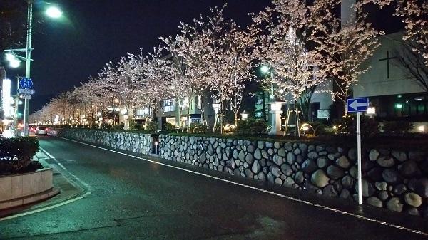 段葛の夜桜の外から2