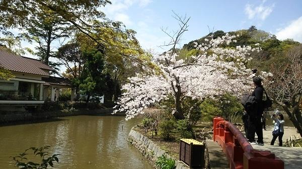 源平池の桜1