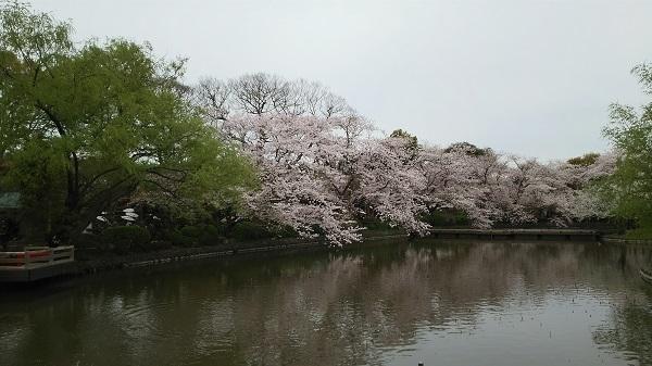 源平池の桜2