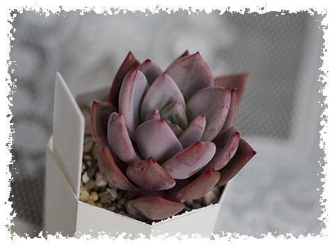 ピンクシャンペーン6