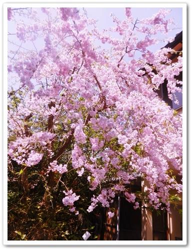 我が家の庭の桜