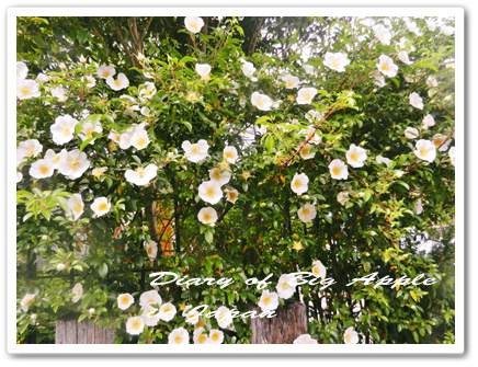 生垣のバラ